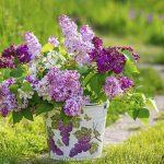 Flieder nach der Blüte ausputzen